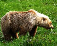 Grizzly im Denali National Park, Alaska