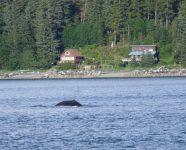 Buckelwal in Alaska
