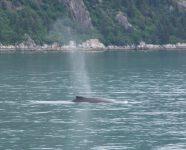 Buckelwal, atmend, in Alaska