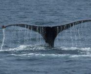 Walflosse in Alaska