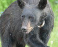 Junger Schwarzbär, BC