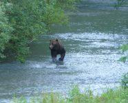 Grizzly beim Fischen, BC