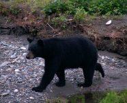Schwarzbär am Steep Creek in Juneau